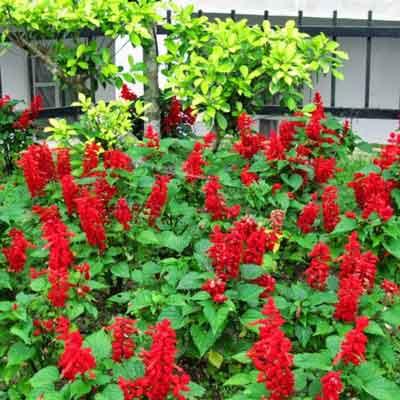 Bán hạt giống hoa xác pháo đỏ