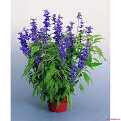 Hạt giống hoa xác pháo xanh