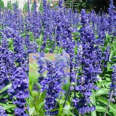 Mua hạt giống hoa xác pháo xanh ở hà nội
